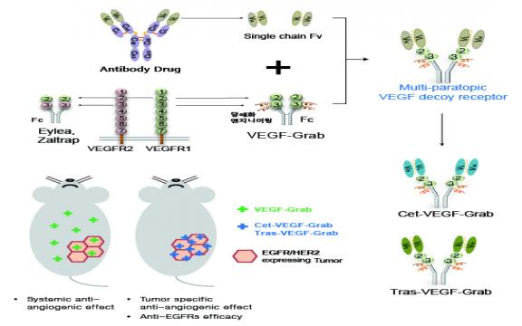 Multi-paratopic VEGF decoy receptor have superior anti-tumor effects through anti-EGFRs and targeted anti-angiogenic activities.