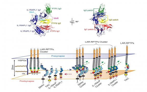 LAR-RPTP Clustering Is Modulated by Competitive Binding between Synaptic Adhesion Partners and Heparan Sulfate.