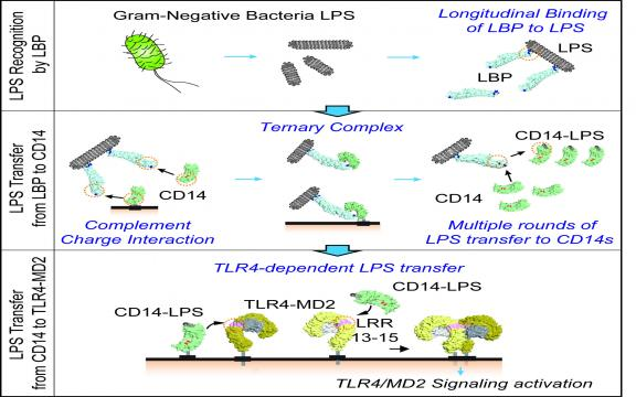Reconstruction of LPS Transfer Cascade Reveals Structural Determinants within LBP, CD14, and TLR4-MD2 for Efficient LPS Recognition and Transfer.