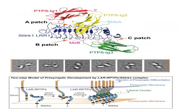 Structural basis for LAR-RPTP/Slitrk complex-mediated synaptic adhesion.