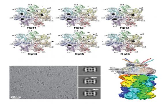 Reconfiguration of the proteasomeduring chaperone-mediated assembly.